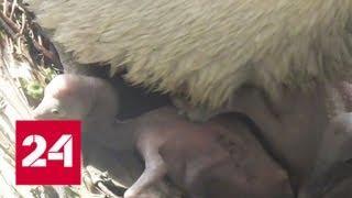В Московском зоопарке появились птенцы кудрявого пеликана - Россия 24
