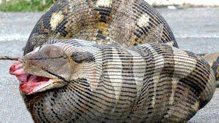 Самые Страшные Животные Австралии