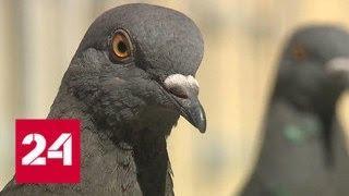 В Москве установили отпугивающие голубей звуковые устройства - Россия 24