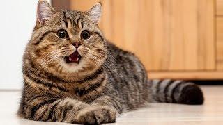 Смешные коты 2017 ТОПовая Подборка. Лучшие Приколы с котами. Funny Cats Complation 2017