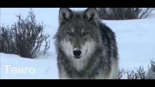 одинокий волк песня для тебя 2018