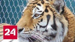 В американском зоопарке усыпили тигра из России - Россия 24