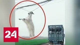 В Китае козел, пытавшийся сбежать из грузовика, повис на ЛЭП - Россия 24