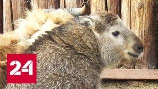В Московском зоопарке пополнение: посетители увидят детеныша такина - Россия 24
