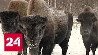 В Якутии выпустили на волю 30 бизонов - Россия 24